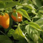 Wegmans Organic Farm Case Study